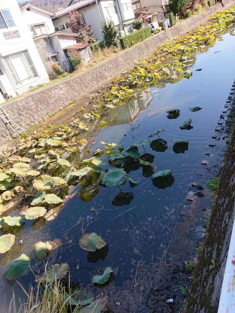 川面に浮かぶ蓮の葉